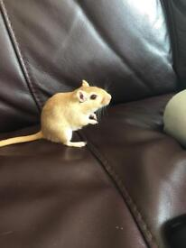 female gerbil and cage for sale!