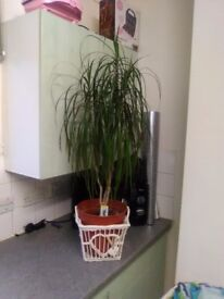 2 healthy house plants need new home!