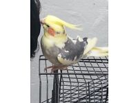 Hand Reared 100 % FULLY TAME, DONOT BITE Cinamon Cockatiel 8 month,give KISSES, come with large cage
