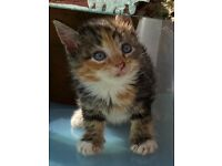Stunning selection GINGER TORTIE MAINEcoon X kittens