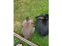 Mini French lop eared rabbits