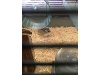 2 Roborovski Hamsters for Sale (to be sold separately)