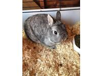 Male Netherland rabbit
