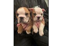 British bulldog puppies for sale. Champion blood line