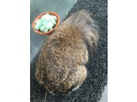 Agouti lion lop buck for sale