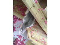 2 female pet rats plus complete set up