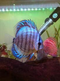 Tropical Fish Discus