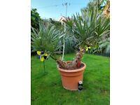 Trithrinax Campestris Palm Tree Plant **RARE**