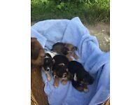 Terrier cross pattern Dale puppies