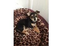 Yorkshire terrier x chihuahua puppy