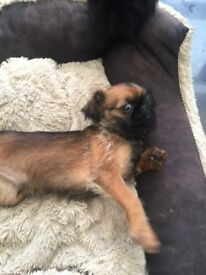 Rough coated Griffon bruxellois puppies