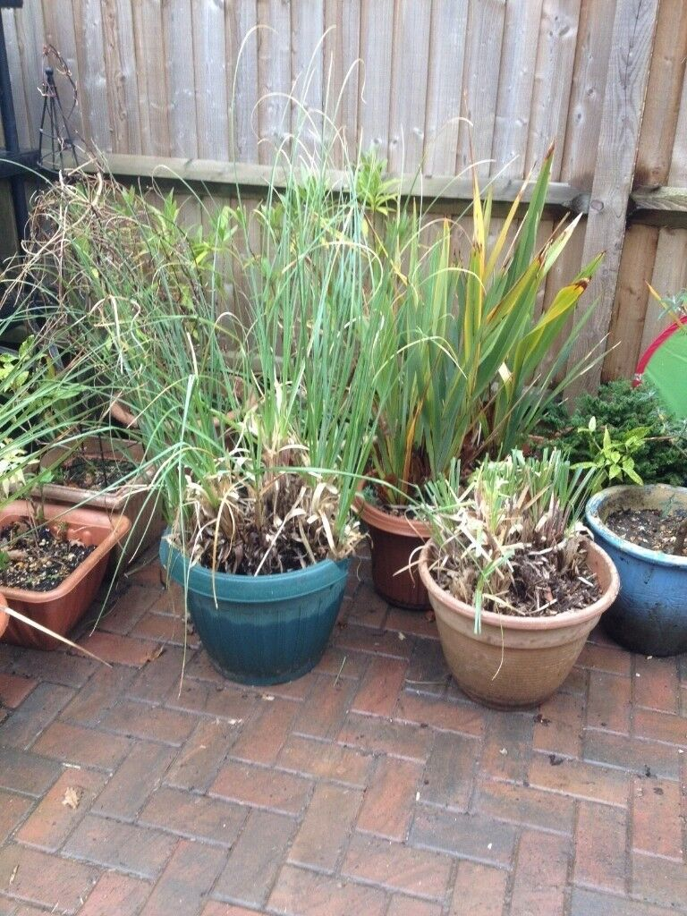 Pampas plant in large pot for the garden