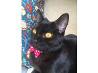 Missing black small female cat, pink collar, bow tie + bell. Bristol BS5
