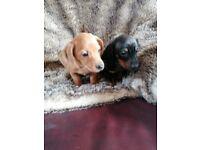 Minature dachshund puppies
