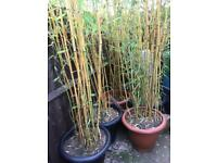 Bamboos well established 8ft tall