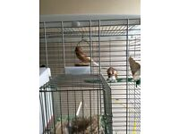 Hi I have one female phaeo canary with red ayes very healthy and active I live in