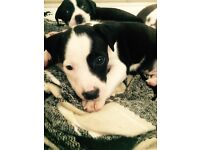 Beautiful staffy pups ready to go to new homes now ! :)