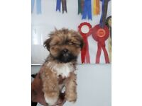 KC Registered Lhasa Apso Puppy (ready to go)