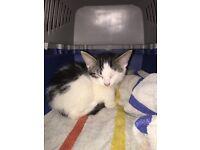 Black and white tabby kitten