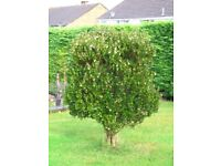 Strawberry Tree in Good Healthy Condition