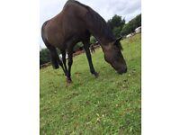 Beautiful 17hh bay mare