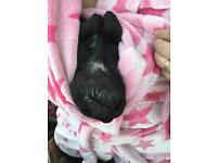 8 lovely staffy/Shar pat puppies