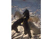 kc Reg Shar Pei puppies