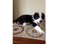 Beautiful border collie male puppy