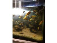 Tropical Fish Malawi Cichlids Red Zebras, Yellow Labs, Socofli. Fry. Downsizing