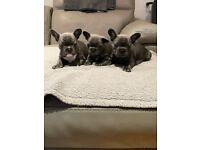 Quality blue French bulldog pups quad Isabella