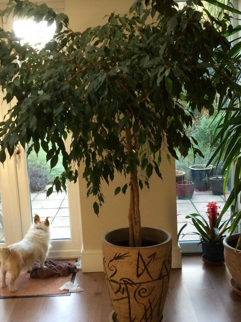 Indoor Fig Tree - 6 ft high - Fabulous Condition and Lovely Pot ...