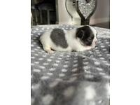 KC Tiny adorable Blue and White long coat boy with Champion and Russian lines