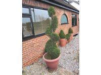 Spiral Evergreen (Lawsoniana) - Fir tree - tall