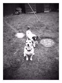 spot and fudge missing Clare glen tandragee area 2jack Russell's black and white tan and white