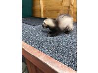Angora baby ferret
