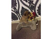 XXS Size Teacup Pomeranian Puppy Full Pedigree £799