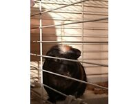 2 x Guinea Pigs + Indoor Cage and hay/food/bedding