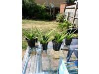 Indoor medical Aloe Vera plant for sale