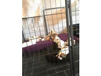 2 stunning american bulldog pups left for sale