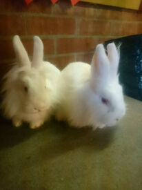 A Pair OF Pink Eyed White Fluffy Rabbits Lion X Lop Does Sisters