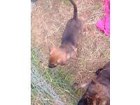 Rott/mastif n Belgium Shepard puppies