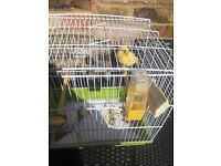 2 Canaries for sale