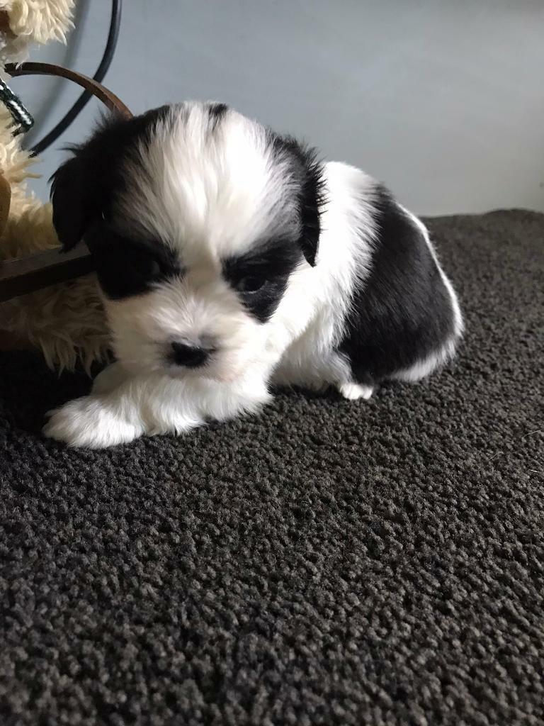 Shih Tzu Cross Bichon Pups In Gravesend Kent Gumtree