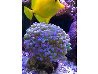 Marine salt water fish tank Coral