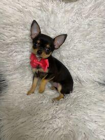 Chiuhuala puppy girl