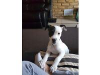 Staffi cross puppy