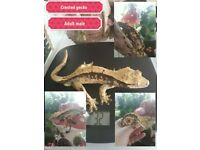 Male adult crested gecko £60 ono