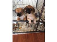 Stunning Chug puppies for sale