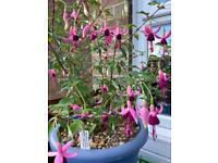 Hardy fuchsia. Millfield Echo in an attractive spacious pot.