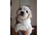 quailty cotton doodle puppies
